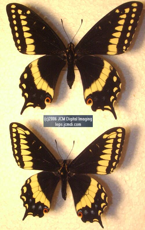 Phyllis' Indra Swallowtail (Papilio indra phyllisae) rearing and life cycle images