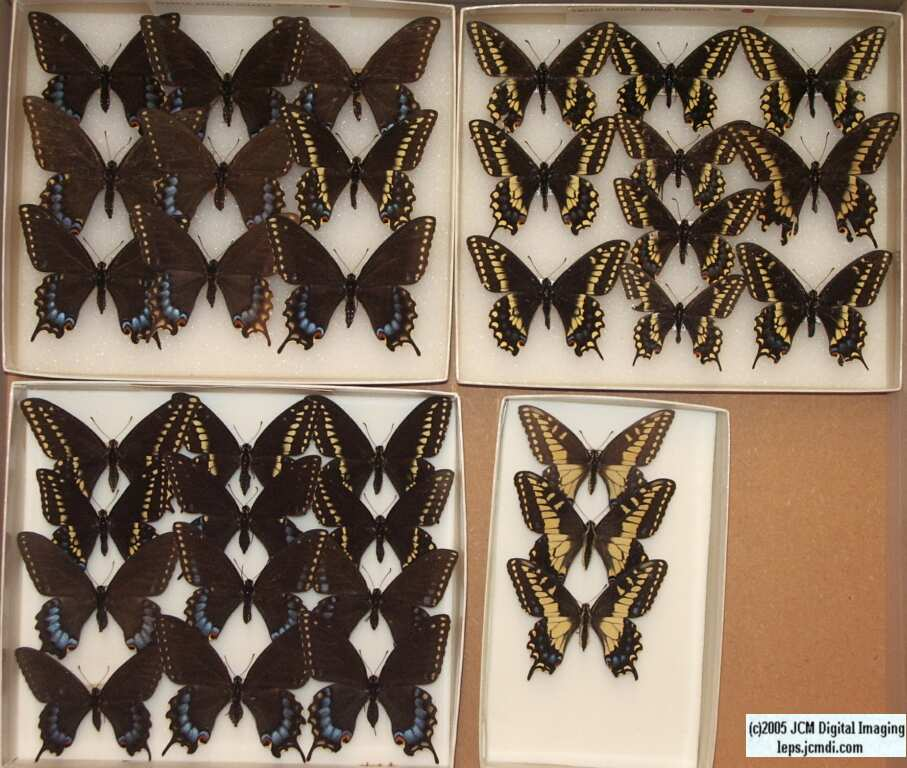 Papilio Baridii (Los Angeles Natural History Museum collection)