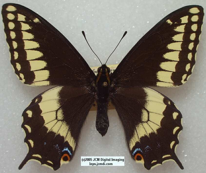 Papilio indra fordi (Ford's Indra Swallowtail Butterfly) images and rearing documentary