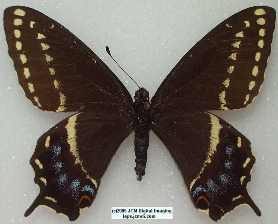 Papilio Indra martini (Los Angeles Natural History Museum collection)