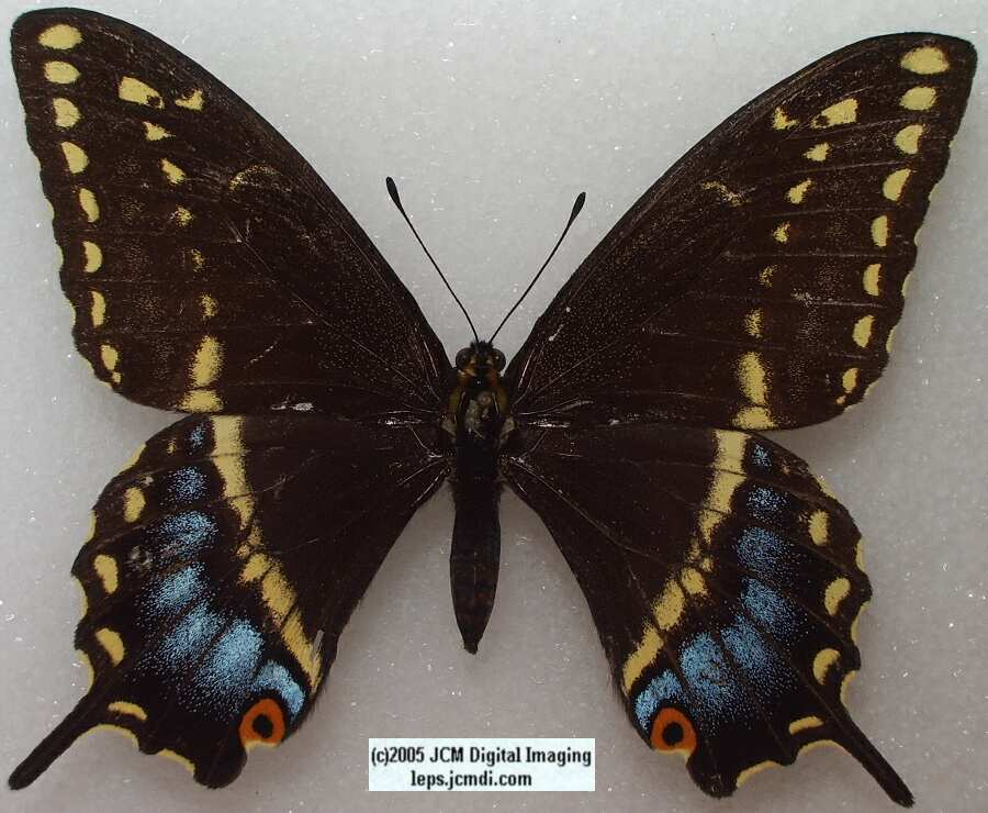 Papilio Indra minori (Los Angeles Natural History Museum collection)