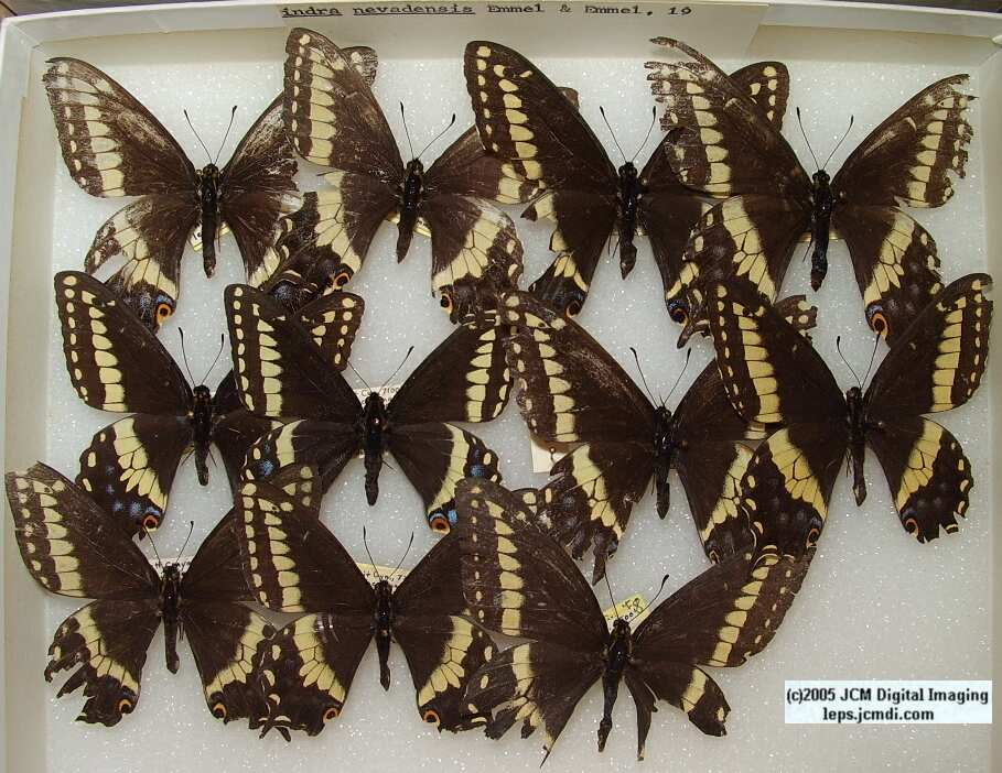 Papilio Indra nevadensis (Los Angeles Natural History Museum collection)