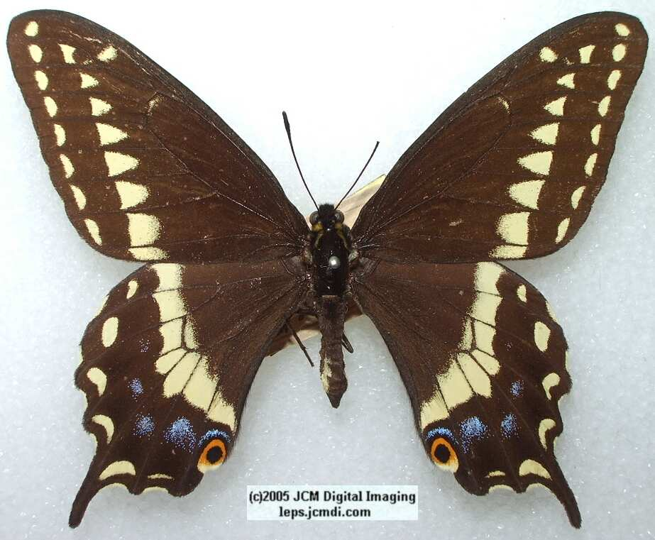 Papilio Indra pergamus (Los Angeles Natural History Museum collection)