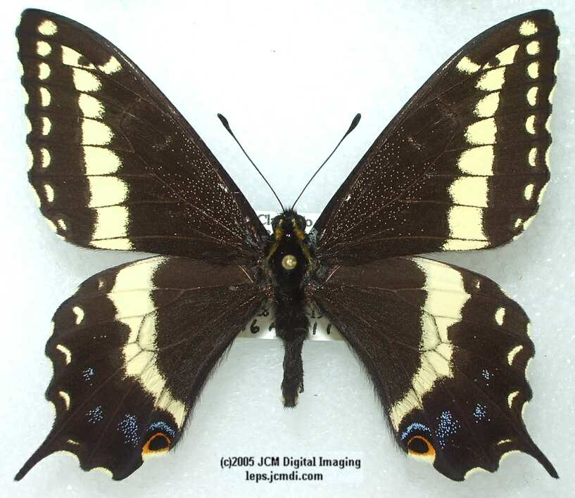 Papilio Indra parvindra (formerly P.i.pigmaeus) (Los Angeles Natural History Museum collection)