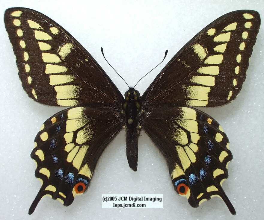 Papilio Polyxenes Nitra (Los Angeles Natural History Museum collection)