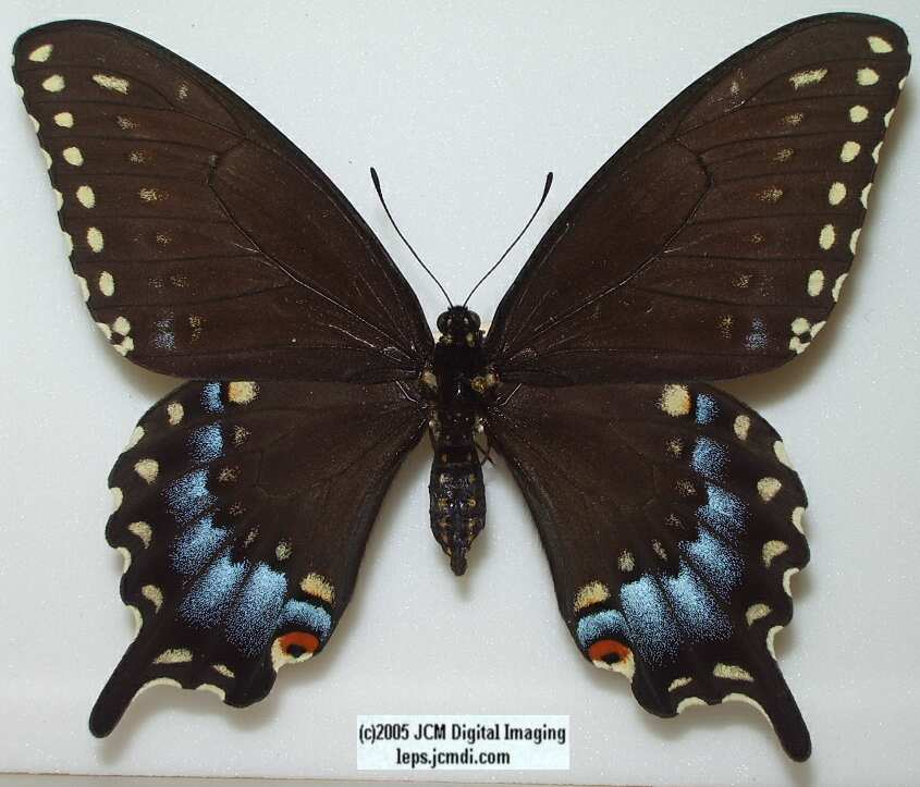 Papilio joanae (Los Angeles Natural History Museum collection)