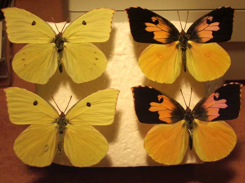Butterfly moth lepidoptera wing degreasing techniues