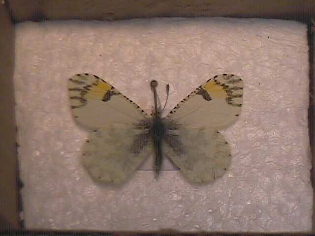 Tips and tricks shipping mounted butterfly and moth specimens through the mail